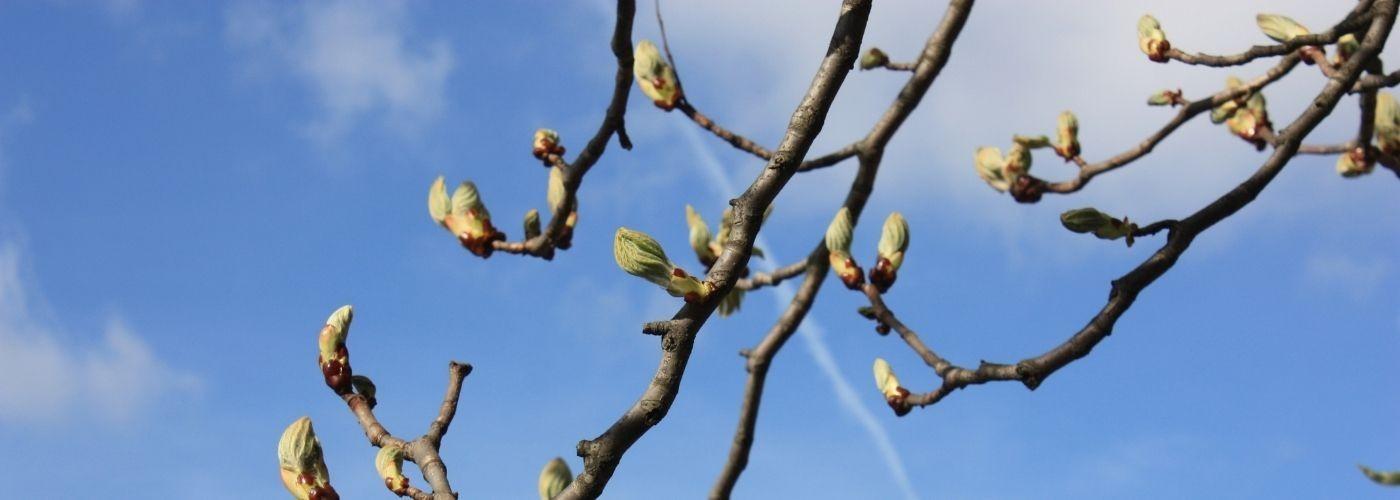 Macérats de bourgeons et de jeunes pousses - Gemmothérapie
